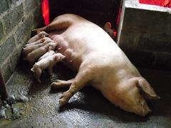 ンドラの養豚事業