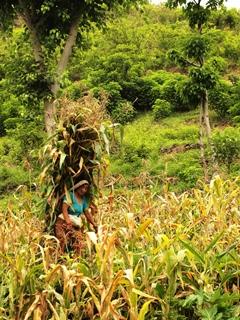 斜面の畑でとうもろこしの収穫を行う女性