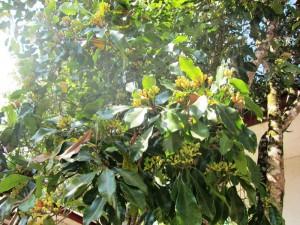 ①クローブ(丁子)の木。花蕾のカタチが釘に似ているとのことから「釘」と同義の「丁」が語源になったとか。