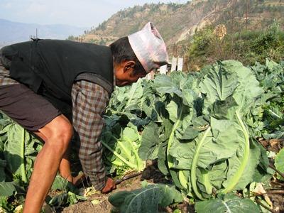 プロジェクトを実施している村でカリフラワーを収穫する住民