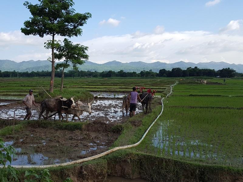 田圃で代掻きをする水牛